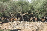 Tame goats among the olive trees poster