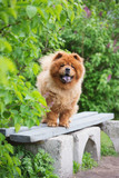chow chow dog on a bench - 83810123