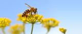 Honeybee harvesting pollen from blooming flowers.