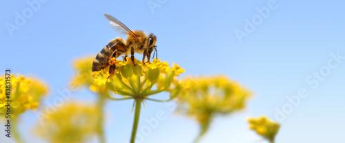 Plexiglas Bee Honeybee harvesting pollen from blooming flowers