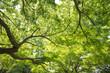 Obrazy na płótnie, fototapety, zdjęcia, fotoobrazy drukowane : 新緑の葉っぱ