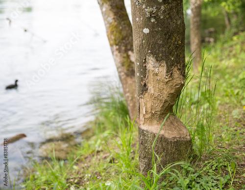 Biberfrass am Baum Poster