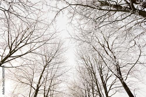 winter trees   - 83860976