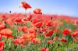 Wild red poppy flowers in meadow