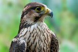 Peregrine falcon immature close-up
