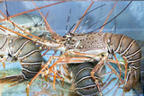 Fotoroleta lobster under water