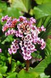 Cultivar badan (Bergenia crassifolia) flowers poster