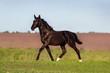 Black beautiful horse trotting in green field