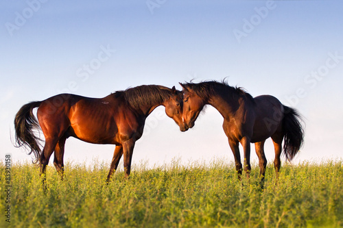 Couple of beautiful horse touch each other in meadow Poster