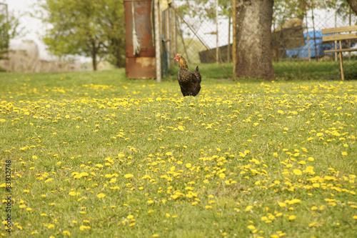 Leinwandbild Motiv Huhn auf Blumenwiese / Huhn auf einer Wiese mit Löwenzahn