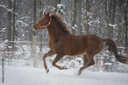 Arabischer Wallach Im Schnee © skmjdigital