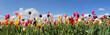 Tulpenfeld Panorama - verschiedene Sorten