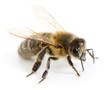 Obrazy na płótnie, fototapety, zdjęcia, fotoobrazy drukowane : honeybee