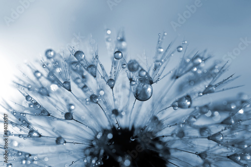 dewy dandelion flower close up - 84026517