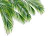 Palm tree foliage isolated on white background