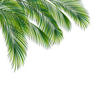 Palm tree foliage isolated on white background