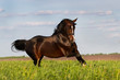 Bay stallion horse run gallop in the meadow