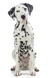 Sitting dalmatian dog isolated on a white background