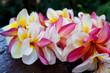 Hawaiian pink plumeria lei