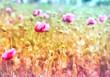 Field of purple poppy flowers