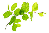 Fresh Green Leaves isolated. - 84155151