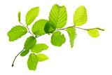 Fototapety Fresh Green Leaves isolated.