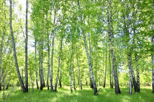 Fototapete birkenwald  Birkenwald Fototapete günstig kaufen | Fototapeten | Bildtapete ...