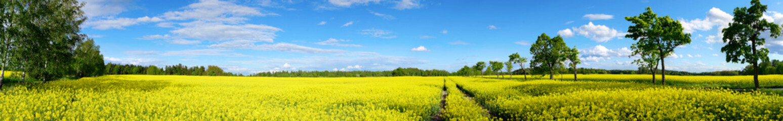 Fototapeta rzepakowe pole panorama