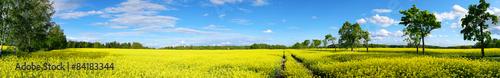 Fototapeta rapeseed field panorama