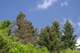 Leśne drzewa