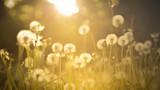 De-focused dandelion background - 84210105
