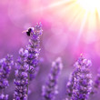 Obrazy na płótnie, fototapety, zdjęcia, fotoobrazy drukowane : Bee on lavender