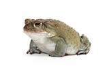 Sonoran Desert Toad Side View poster