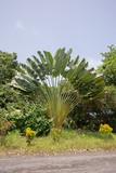 Baum der Reisenden, Ravenala madagascariensis poster