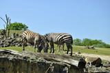 Zwei Zebras Zoo