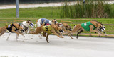 Pack Greyhound Dogs Racing