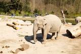 Elephants in Copenhagen Zoological Garden poster