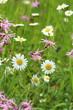 wildblumenwiese hochformat