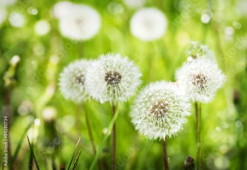 Zdjęcia na płótnie, fototapety na wymiar, obrazy na ścianę : Meadow of Dandelions. Summer background.