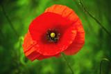 Fototapety Wild Red Poppy Flower