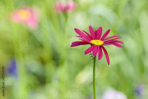 Naklejka Purple marguerite - spring flower