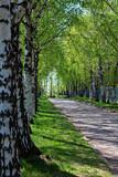 Spring or summer birch alley - 84364791