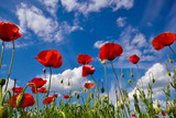 Wallpaper with poppy flowers