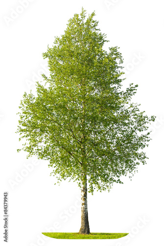 Green spring birch tree isolated on white background