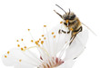 Obrazy na płótnie, fototapety, zdjęcia, fotoobrazy drukowane : Honeybee and white flower