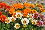 oranžová gazania květina