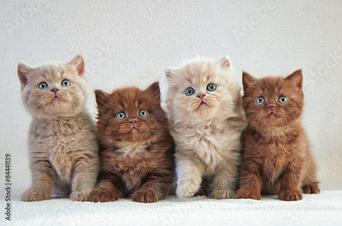 Poster, Tablou four british kittens