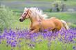 Obrazy na płótnie, fototapety, zdjęcia, fotoobrazy drukowane : Palomino horse with long blond male on flower field
