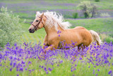Fototapety Palomino horse with long blond male on flower field