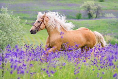 Zdjęcia na płótnie, fototapety, obrazy : Palomino horse with long blond male on flower field